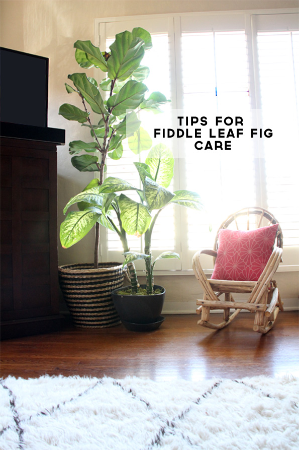 Caring for My Fiddle Leaf Fig | PepperDesignBlog.com