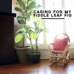Tips for Caring for Fiddle Leaf Figs