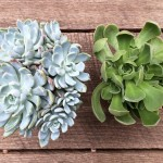 An Experiment in Succulent Propagation