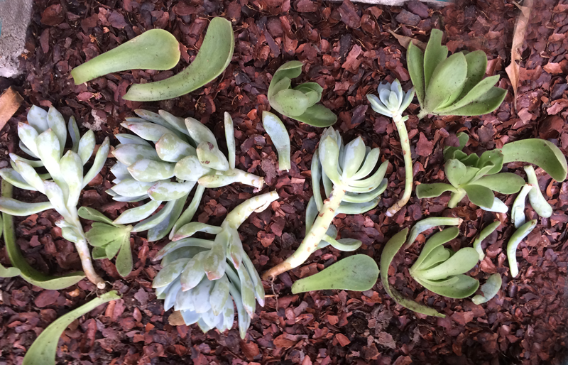 Adventures in Succulent Propagating, Part 2 | PepperDesignBlog.com