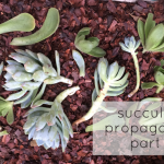 An Experiment in Succulent Propagation, Part 2