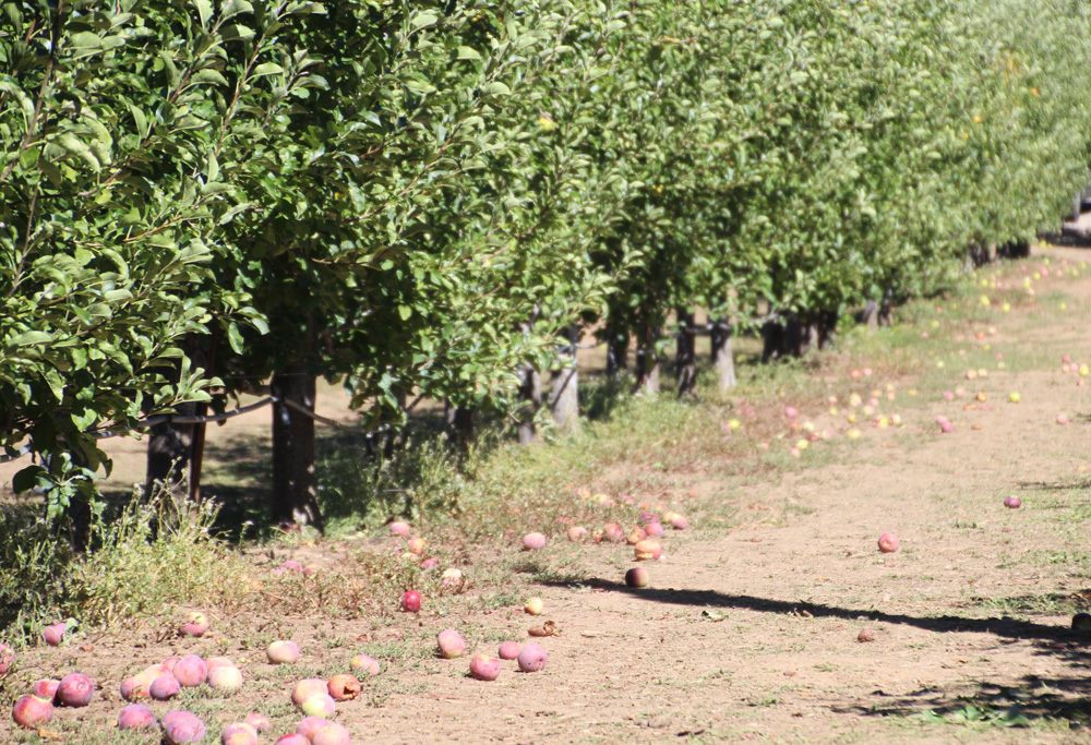 2015_julianapplepicking_applegrove2b_1000