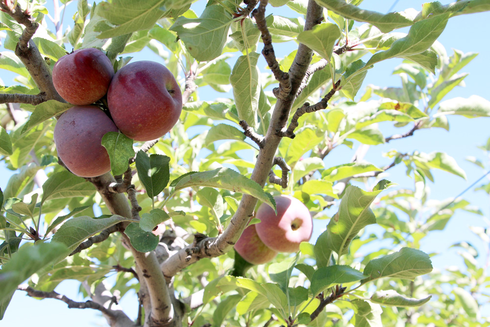 2015_julianapplepicking_apples2_1000