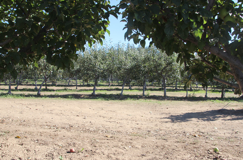 2015_julianapplepicking_orchard7_1000