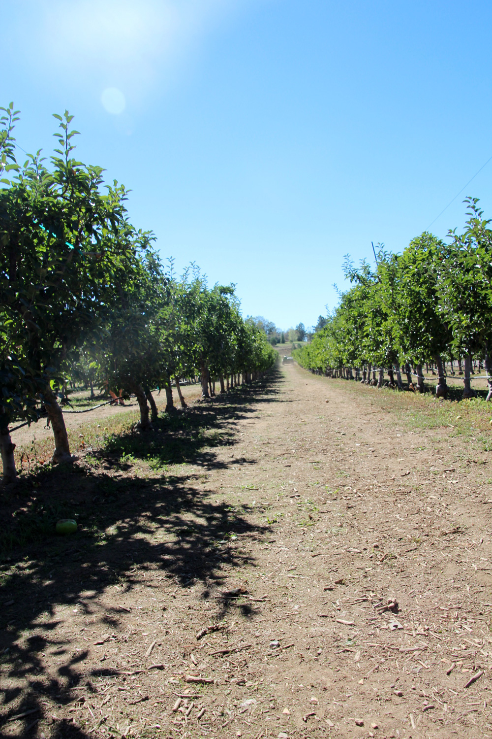 2015_julianapplepicking_orchard_1000